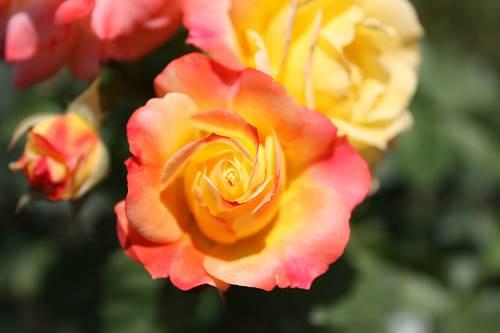 Jardim municipal das rosas